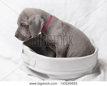 Grey Great Dane puppy in a basket that is apparently stuck