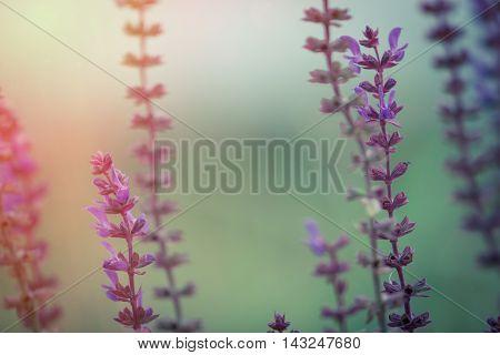 Salvia Nemorosa Macro Bacground. Sun Flare Added.