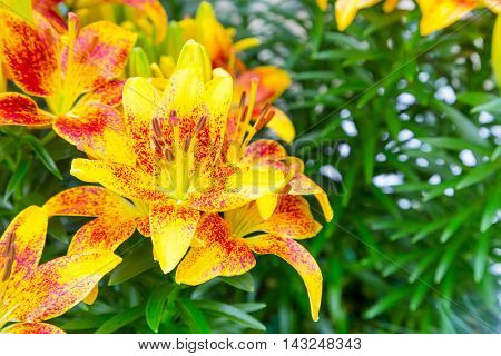 Vibrant colorful holiday or birthday background with beautiful yellow and red lily flower blossom close up