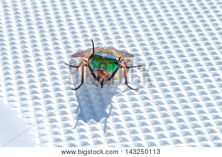 Varicolored fly sits and washes on plastic surface