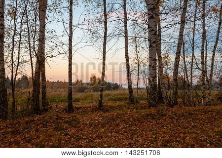 Group of birch trees with fallen golden leaves beneath in front of field and forest at autumn sunset