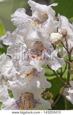 Northern catalpa flowers (Catalpa speciosa). Called Hardy Catalpa Western Catalpa Cigar Tree and Catawba-tree also
