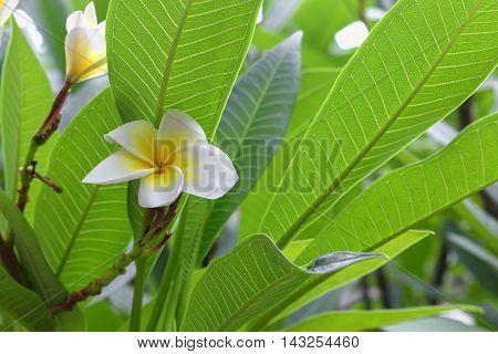 Plumeria flower . beautiful White Plumeria on the tree.( Common name Apocynaceae Frangipani Pagoda tree Temple tree )