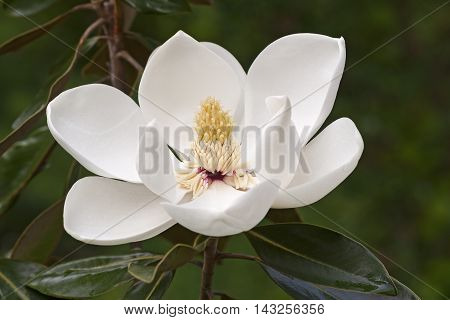 Southern magnolia flower (Magnolia grandiflora). Called Evegreen Magnolia Bull Bay Bullbay Magnolia Laurel Magnolia and Loblolly Magnolia also