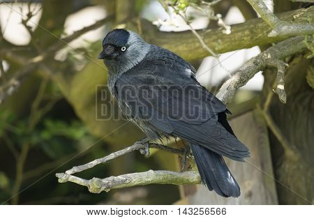 Jackdaw, Perched On A Branch, Close Up