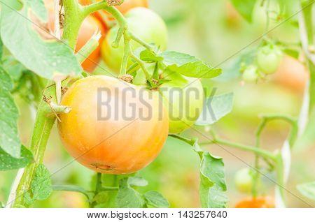 Close-up Of Unripe Tomato On Stem In Eco Farm