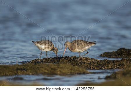 Black-tailed Godwits, On The Marshland In The Sea