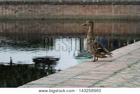 duck stands on the shore near the city pond and looks into the distance