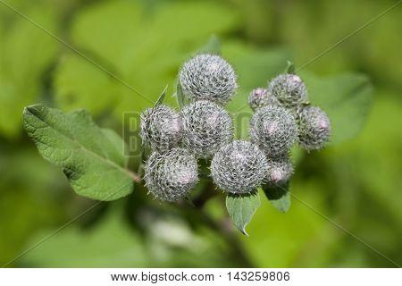 Medicinal plant burdock Arctium lappa, macro. soft focus