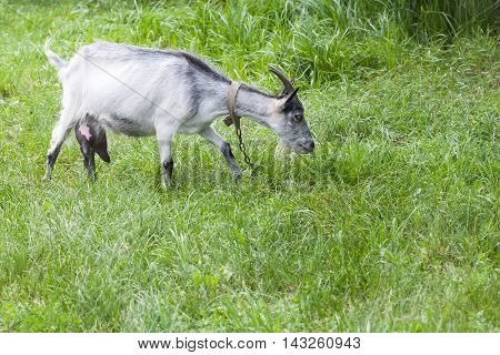 Goat grazing in a pasture. Green grass background. Capra aegagrus hircus at summer time