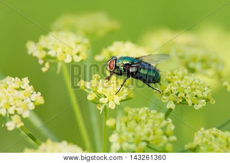Green fly on yellow flower. Lucilia caesar Calliphoridae macro view, soft focus image