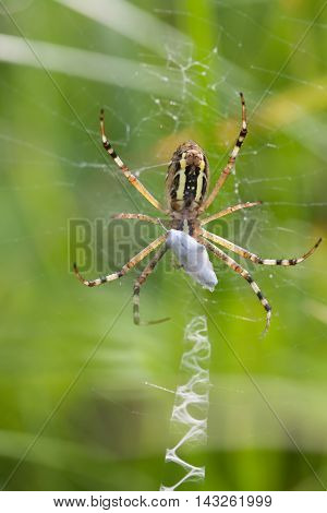 Wasp orb-web spider Argiope bruennichi. Insect with yellow stripes, web and stabilimentum. macro view, soft focus photo