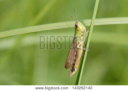 Green grasshopper on a herb. insect macro view, shallow depth of field, horizontal