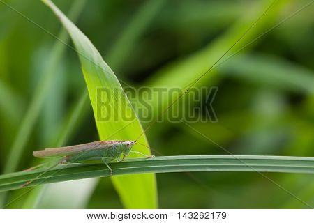 Grasshopper on a grass plant. Great Green Bush-Cricket Tettigonia viridissima. insect macro view, shallow depth of field, horizontal