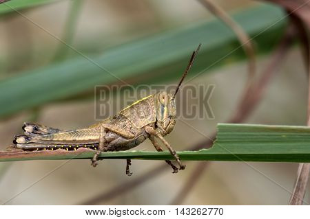 Grasshopper resting on the leaves before proceeding to eat the leaves.