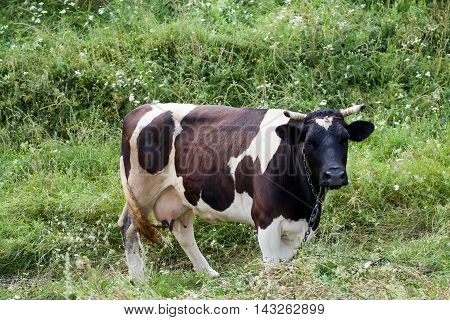 A cow with black and white spots grazing on the meadow, tail in motion summer time scene