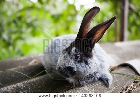 Silvery Blue breed of rabbit with black ears. shallow depth of field, soft focus image