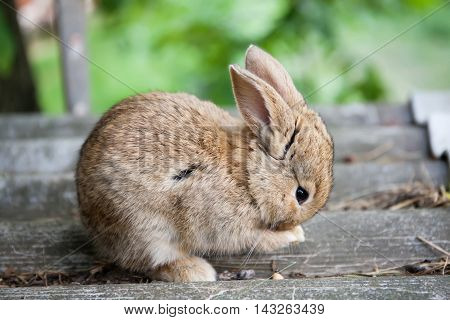Small cute rabbit cleaning face, fluffy brown bunny on gray stone background. soft focus, shallow depth field