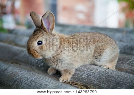 Fluffy brown rabbit on gray background, Easter bunny concept. macro view, shallow depth of field