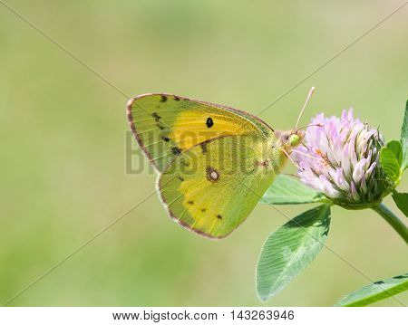 Yellow butterfly Colias hyale pale clouded on clover flower. Summer time landscape. macro view