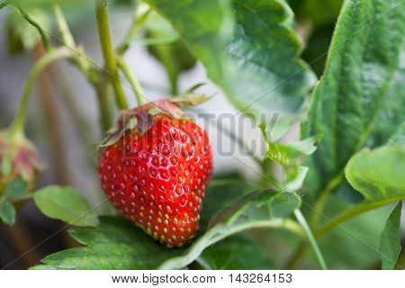 Strawberry plant in garden. Organic food concept with ripe red berry textured. shallow depth of field