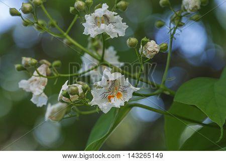 Northern catalpa flowers (Catalpa speciosa). Called Hardy Catalpa Western Catalpa Cigar Tree and Catawba-tree also