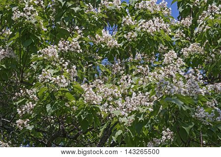 Northern catalpa in blossom (Catalpa speciosa). Called Hardy Catalpa Western Catalpa Cigar Tree and Catawba-tree also