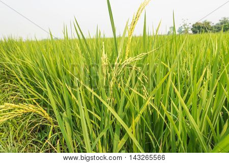 Rice plant with grain on nature background
