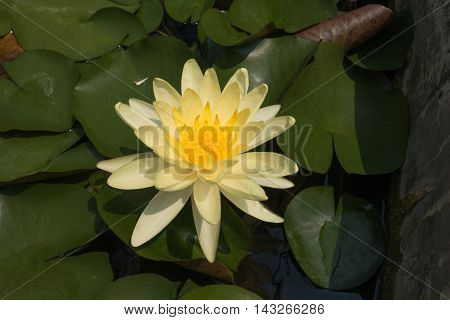 Yellow lotus flower in the water and green leaf