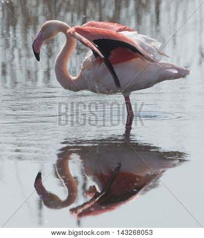 Greater flamingo (Phoenicopterus roseus) with open wings