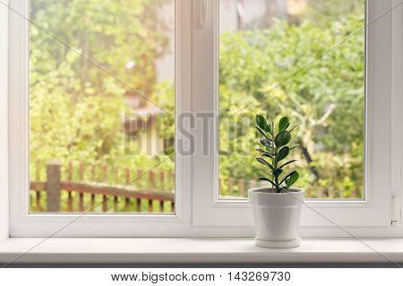 crassula flower in white pot on windowsill