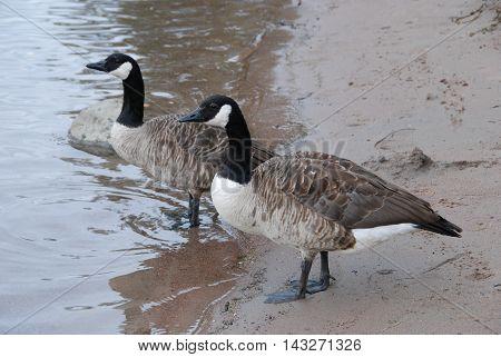 Canadian geese couple on the sandy beach