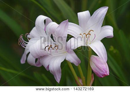 Crinum Mrs. James Hendry crinum lily (Crinum x hybrid Mrs. James Hendry). Hybrid between Crinum x digwidii and Crinum x scabrum