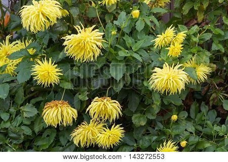 Home grown Fimbriated Dahlia flower in yellow blooming in the garden