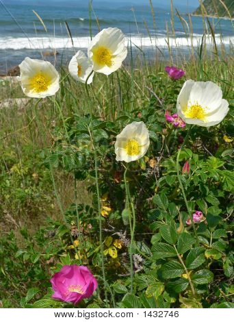 The Blooming Amure Poppy And Brier