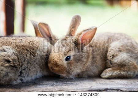 Easter bunny concept. Two fluffy rabbits, close-up, shallow depth of field, soft focus image