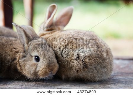Two fluffy bunny, close-up photo. pet rabbit, shallow depth of field, soft focus. funny animals concept photo