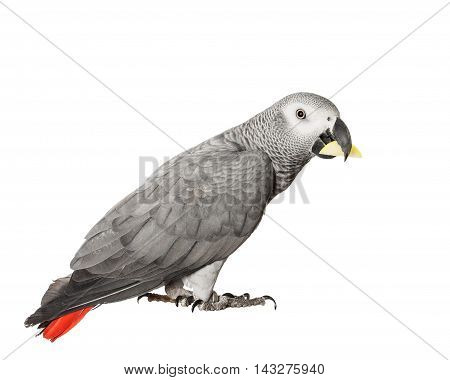 Gray parrot Jaco on a white background with a slice of apple in its beak