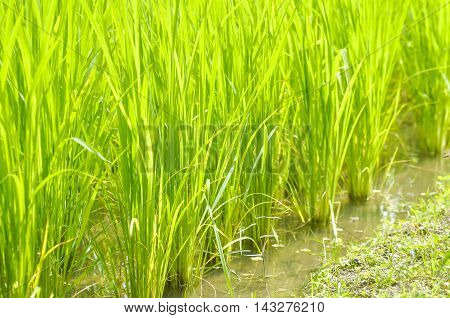 paddy field , rice paddy or rice field