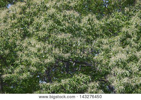 American chestnut tree in blossom (Castanea dentata)