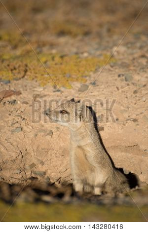 Weary Mongoose Sticking Out It's Neck