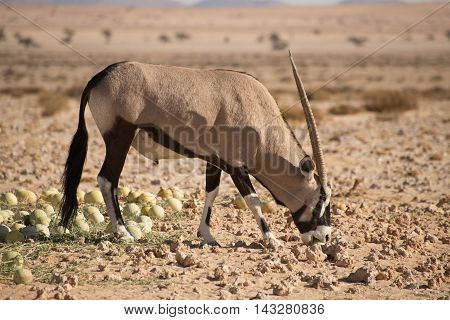 Oryx In Desert Biting In To Desert Melon.