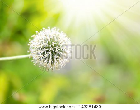 White garlic flower with sunlight and selective focus with copy space.
