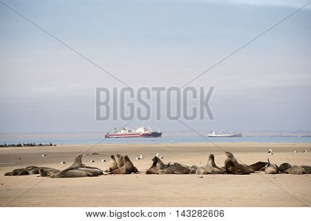 Colony Of Seals At Pelican Point