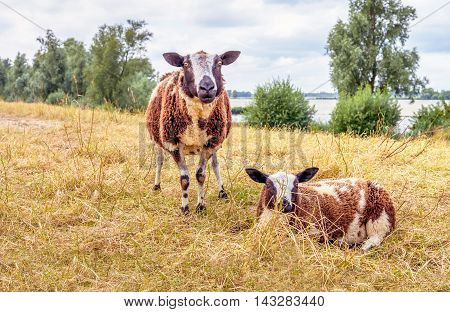 One standing brown spotted sheep and a sheep lying down in the yellowed grass near a river. It is warm and in the middle of summer season now.