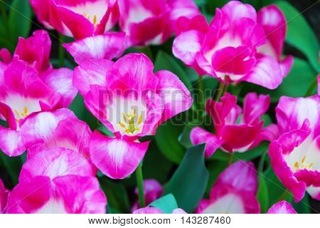 Top view of vibrant pink tulip blossom, closeup macro texture background