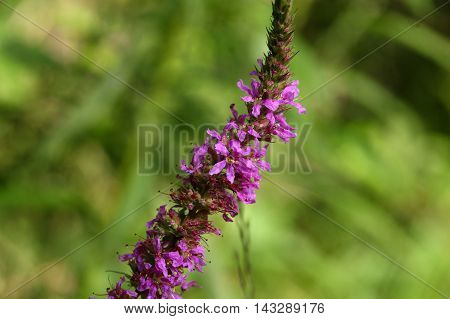 Flowers of a purple loosestrife (Lythrum salicaria)