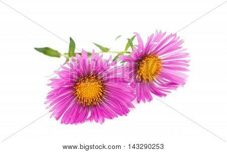 magenta chrysanthemum chinese flower on white background