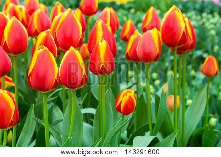 Colorful flowerbed with red, yellow tulips, spring flower garden