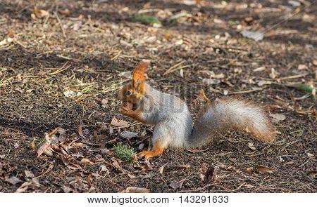 Eurasian red squirrel found walnut on the ground